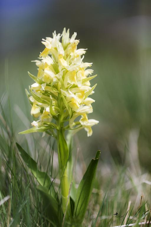 orchis sureau (Dactylorhiza sambucina)