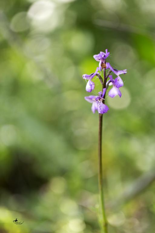 Orchis bouffon (Orchis morio)
